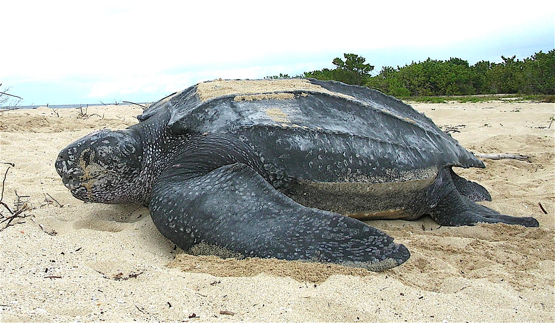 Tartaruga de coiro
