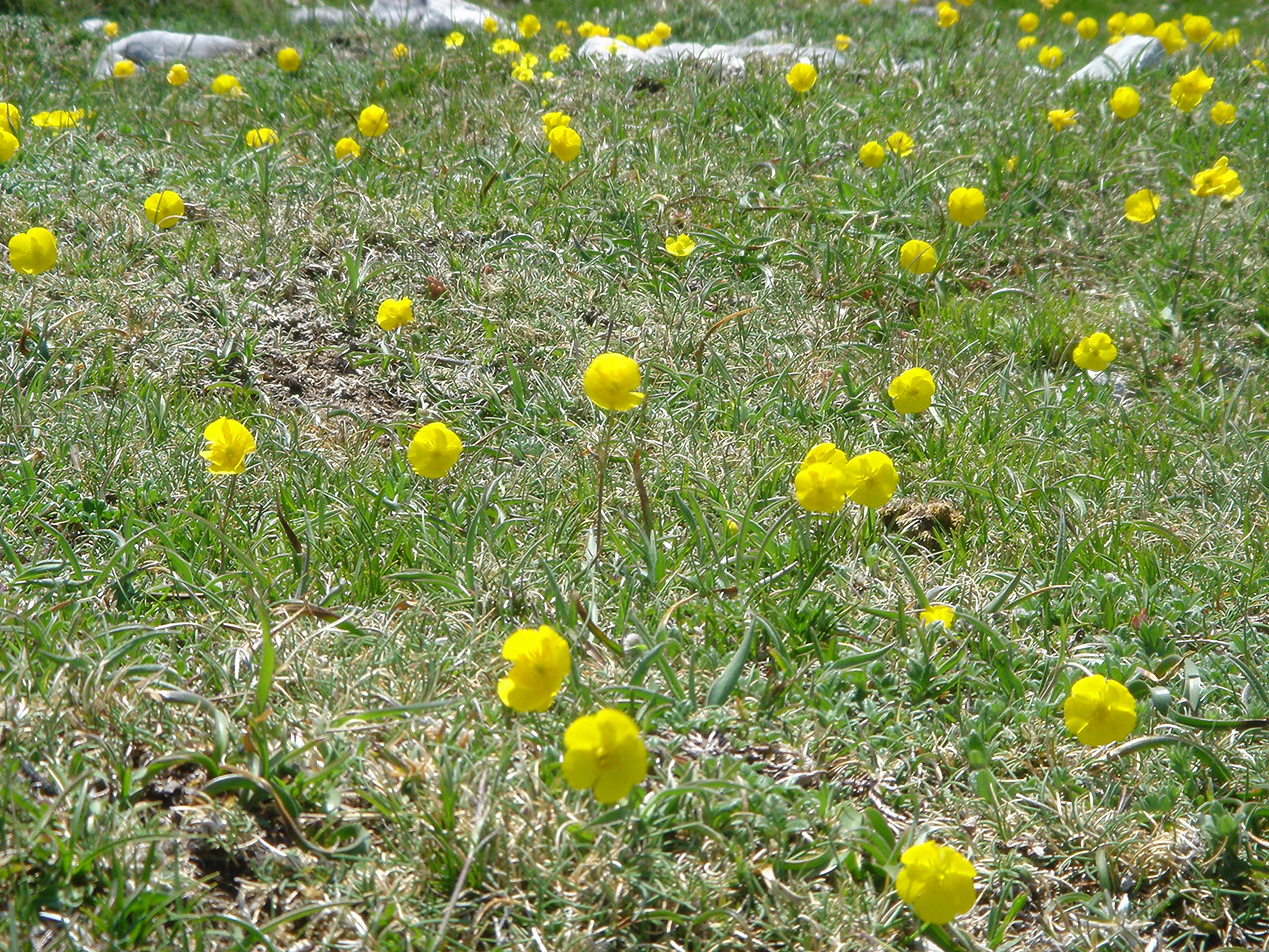 Ranunculus bupleuroides
