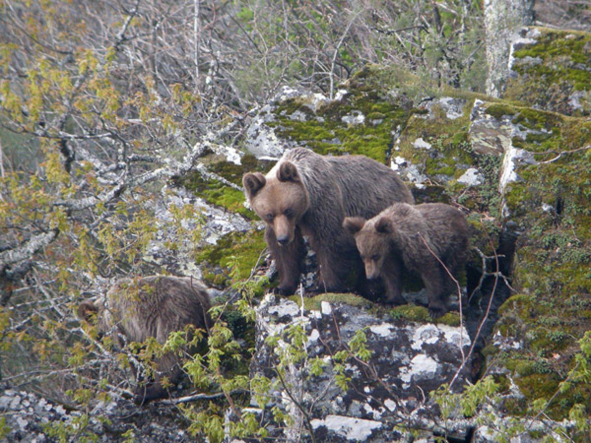 Exemplares de oso pardo
